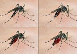 La fièvre ZIKA apportée par le moustique Tigre
